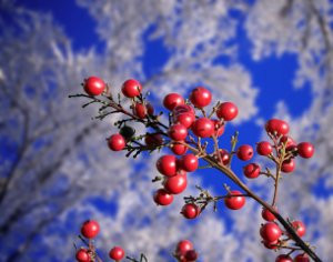 red berries against ice covered trees